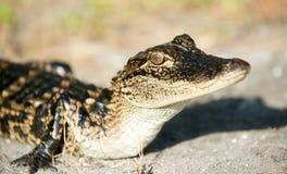 Giovane alligatore Immagini Stock