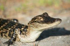 Giovane alligatore Fotografia Stock