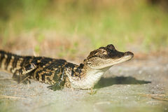 Giovane alligatore Fotografie Stock