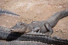 Giovane alligatore Fotografie Stock Libere da Diritti