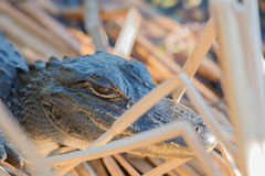 Giovane alligatore Fotografia Stock Libera da Diritti