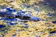 Giovane alligatore Immagine Stock Libera da Diritti