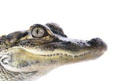 Giovane alligatore americano Fotografia Stock Libera da Diritti