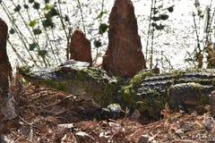 Giovane alligatore che prende il sole al sole fotografie stock
