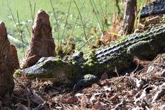 Giovane alligatore che prende il sole al sole fotografia stock libera da diritti