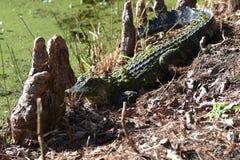 Giovane alligatore che prende il sole al sole fotografia stock