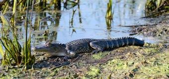 Giovane alligatore prendente il sole della palude, Savannah National Wildlife Refuge Fotografia Stock Libera da Diritti