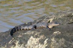 Giovane alligatore su roccia Immagini Stock Libere da Diritti