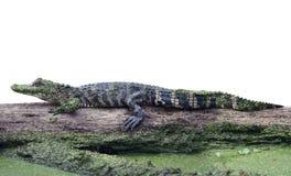 Giovane alligatore su un ceppo Immagini Stock