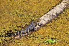 Giovane alligatore sul ceppo Fotografia Stock Libera da Diritti
