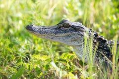 Giovane alligatore in una palude di Florida Immagini Stock