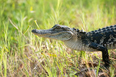 Giovane alligatore in una palude di Florida Immagine Stock Libera da Diritti
