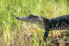 Giovane alligatore in una palude di Florida Immagine Stock