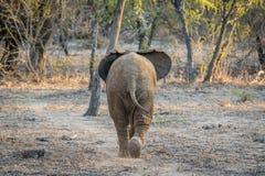 Giovane allontanarsi dell'elefante africano Fotografie Stock