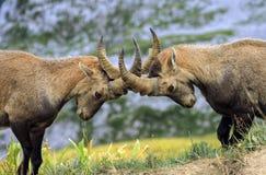 Giovane alpino selvaggio maschio, capra ibex, o stambecco delle Alpi Immagine Stock Libera da Diritti