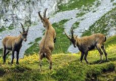Giovane alpino selvaggio maschio, capra ibex, o stambecco delle Alpi Fotografie Stock