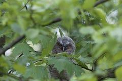 Giovane aluco dello strige dell'allocco nascosto in foglie di un albero Immagine Stock Libera da Diritti