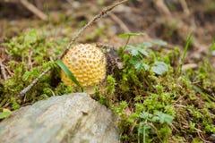Giovane amanita Muscaria cresciuto dentro una foresta in dolomia  Fotografia Stock