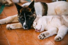 Giovane americano felice di Husky Puppy Eskimo Dog And fotografie stock libere da diritti