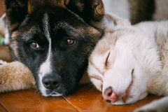 Giovane americano felice di Husky Puppy Eskimo Dog And fotografie stock