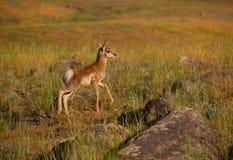 Giovane antilope Fotografia Stock Libera da Diritti