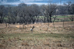 Giovane antilope di Pronghorn Immagini Stock