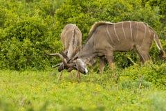 Giovane antilope maschio di kudu Immagini Stock Libere da Diritti