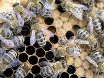 Giovane ape neonata che striscia sul pettine di coperchiamento del cha della nidiata Fotografia Stock Libera da Diritti