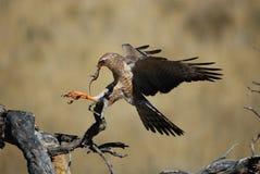 Giovane astore pallido Chanting (canorus di Melierax) Fotografie Stock Libere da Diritti