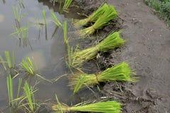 Giovane azienda agricola verde del riso Immagini Stock Libere da Diritti