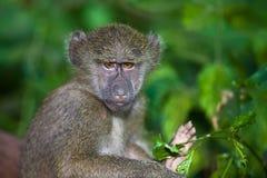 Giovane babbuino Fotografia Stock