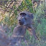 Giovane babbuino che guarda intento Immagini Stock