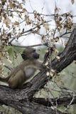 Giovane babbuino di Chacma Immagini Stock