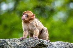 Giovane ballare di scimmia di sylvanus del Macaca fotografia stock