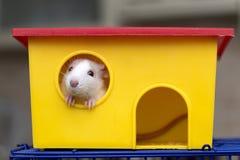 Giovane bambino curioso addomesticato bianco e grigio divertente del criceto del topo con gli occhi brillanti che guardano dalla  immagine stock libera da diritti