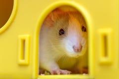 Giovane bambino curioso addomesticato bianco e grigio divertente del criceto del topo con gli occhi brillanti che guardano dalla  fotografia stock libera da diritti