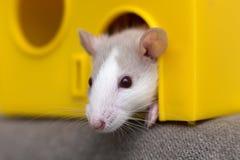 Giovane bambino curioso addomesticato bianco e grigio divertente del criceto del topo con gli occhi brillanti che guardano dalla  fotografia stock