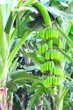 Giovane banana fotografia stock libera da diritti