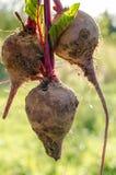 Giovane barbabietola fresca Fotografia Stock