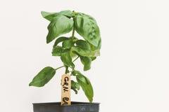 Giovane Basil Plant Fotografia Stock Libera da Diritti