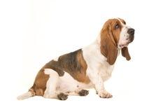 Giovane basset hound adulto sveglio che si siede e che guarda alla destra veduta dal lato fotografia stock libera da diritti