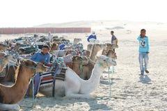 Giovane beduino con i cammelli Immagini Stock