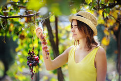 Giovane bella ragazza che seleziona uva piena nel giorno soleggiato in Italia Fotografie Stock
