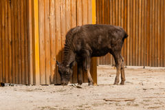 Giovane bello bisonte fotografia stock libera da diritti