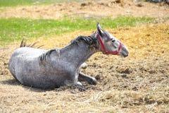 Giovane bello cavallo grigio che si trova su un fieno alla campagna fotografie stock libere da diritti