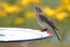 Giovane bere dell'uccellino azzurro Fotografie Stock Libere da Diritti