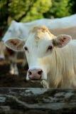 Giovane bestiame Fotografia Stock