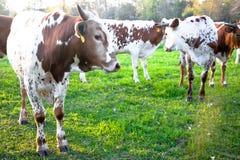 Giovane bestiame della mucca texana fotografia stock