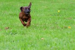 Giovane bighellonare curioso del cane immagini stock