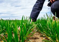 Giovane biologo della donna di agricoltura che ispeziona il raccolto Fotografia Stock